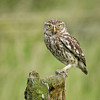 Little Owl on the perch