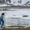 King Penguin, Right Whale Bay