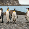 Four King Penguins, Right Whale Bay
