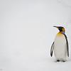 Lone King Penguin, Grytviken