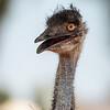 Emu, Exmouth WA