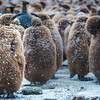 Juvenile King Penguins, Gold Harbour