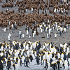 King Penguin Colony, Right Whale Bay