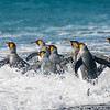 King Penguins Returning to Feed
