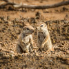 A pair of ground squirrels