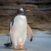 Gentoo Penguin, Saunders Island