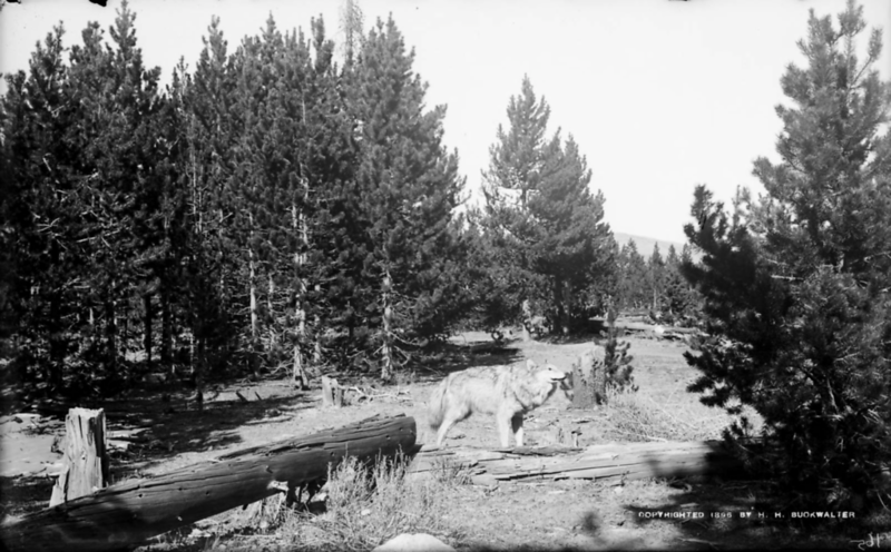 "Buckwalter, Harry H. 1896. ""View of possibly a taxidermy gray wolf in the mountains of Colorado."" © History Colorado. Accessed via the Hart Research Library."
