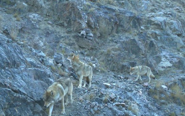 "Wolves in Sarychat Ertash State Nature Reserve, Kyrgyzstan. © Snow Leopard Trust 2016. Accessed via <a href=""https://www.instagram.com/p/B2AqZUNlVyz/"">https://www.instagram.com/p/B2AqZUNlVyz/</a>"
