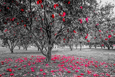 Fallen Red Leaves_BW_Sacramento 1_19 6