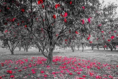 Fallen Red Leaves_BW_Sacramento 1_19 6