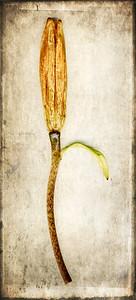 Orange Lily Stem 2