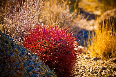 Joshua Tree - Pink Cactus