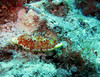 Red-spotted nudibranch