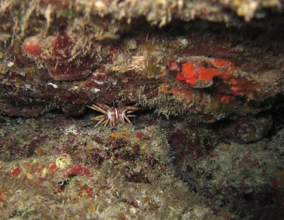 lil sputnick (ten-lined urchin)