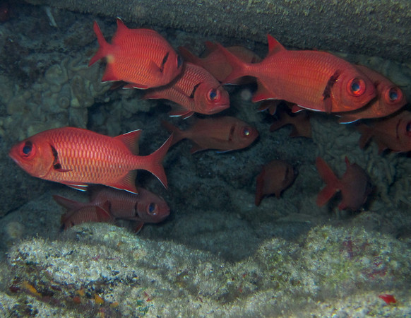 Big-scale soldierfish