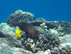 Yellow tang & Regal Parrotfish