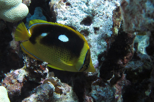 Fourspot Butteflyfish (lau-lau)