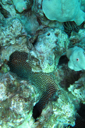 body of whitemouth moray eel in coral