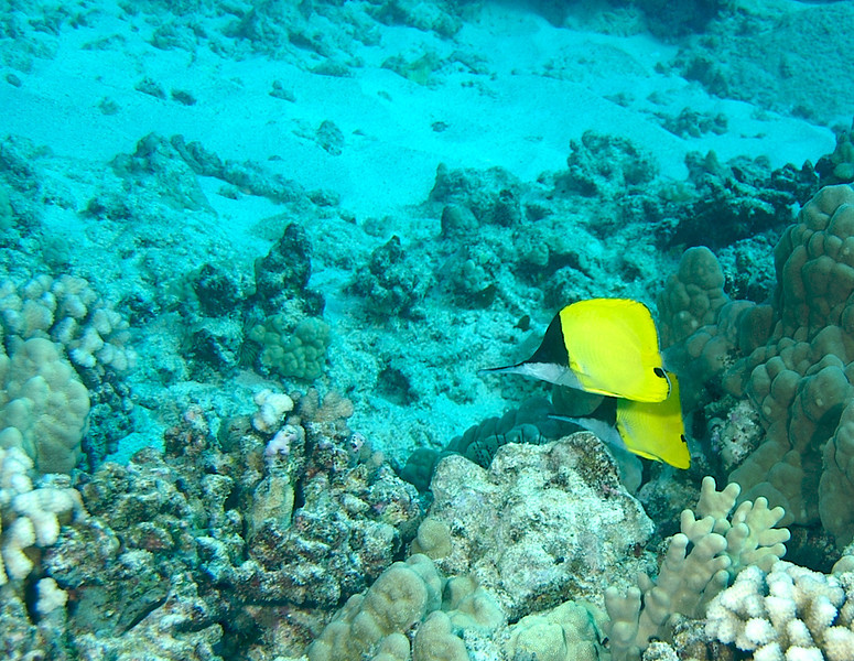 a pair of longnose butterflyfish