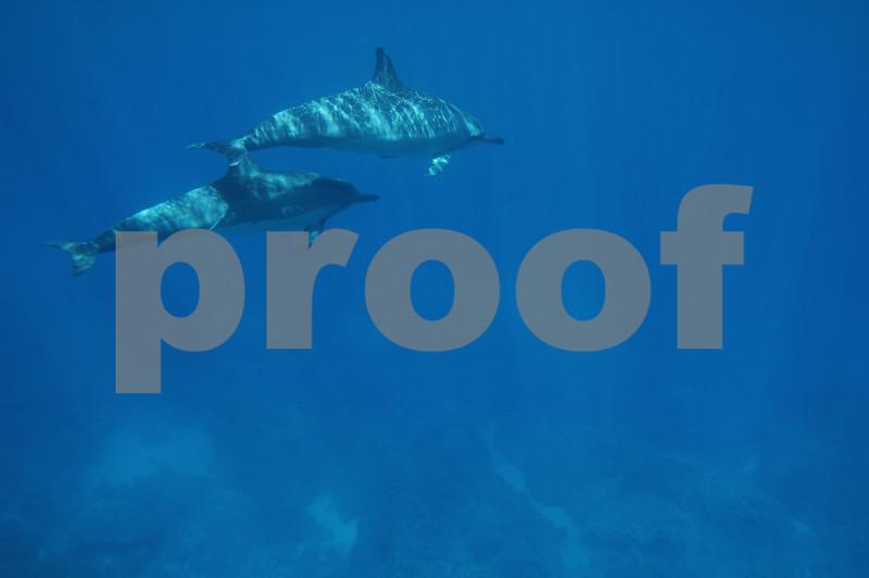 Dolphin swim at Kailua Bay