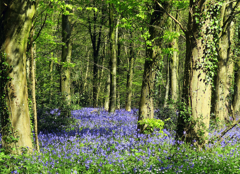 Bluebells in Great Coll Wood