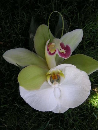 Double orchids  tropical $25-$30