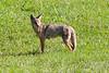Mamma Coyote 1741