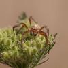 Spider on Daucus pusillus (American wild carrot) - Salt Creek