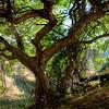 Aesculus californica (California buckeye) - Salt Creek Old No. 1 Trail