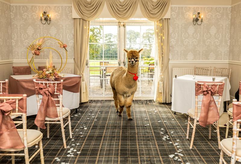 Teddy the Alpaca wedding ring bearer at Singleton Lodge