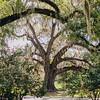 oak-tree-spanish-moss-magnolia-plantation-charleston-sc-kate-timbers-wedding-photography-1470