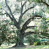 spanish-moss-oak-tree-magnolia-plantation-charleston-sc-kate-timbers-wedding-photography-1453