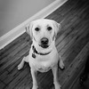 yellow-lab-dog-old-mill-media-pa-wedding-kate-timbers-photography-4288