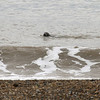 A surprise seal visitor at a wedding at Cley Beach