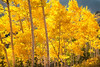 A grove of Aspen trees shines brightly amidst brilliant fall colors in Guardsman's Pass near Park City, Utah. (c) 2011 Tom Kelly
