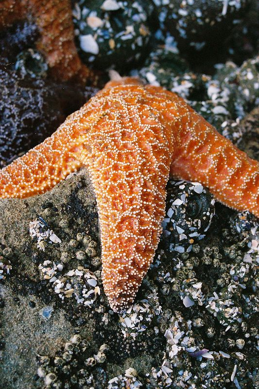 <p>Hug Point Starfish</p> <p>Photo by Sarah Ackers with a Canon EF-M