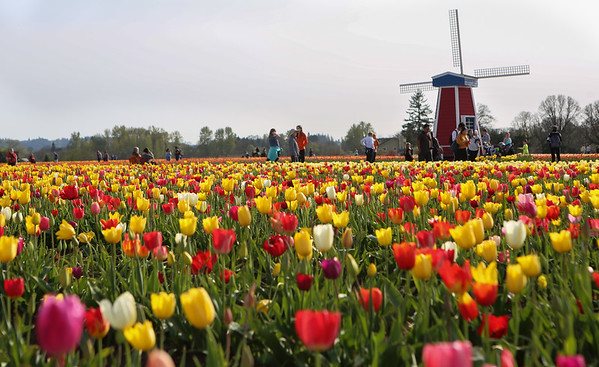 Hundreds enjoy the warm weather at the Wooden Shoe Tulip Farm in Woodburn Oregon, April 9th, 2018. (Kelly Lyon/The Register-Guard)