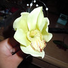 another shot of orchid<br /> <br /> light green fake orchid, used as a boutonniere. 1 available, $1