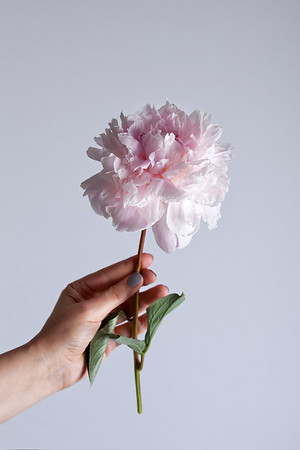 Woman's hand holding beautiful pink peony