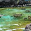sea turtles at sea life park hawaii