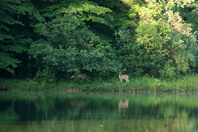 A couple of fawns across the way - Chagrin Falls, OH ... July 4, 2009
