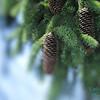 70-6279 soft edge pine cone