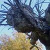 Birch Man.<br /> Another sculpture.
