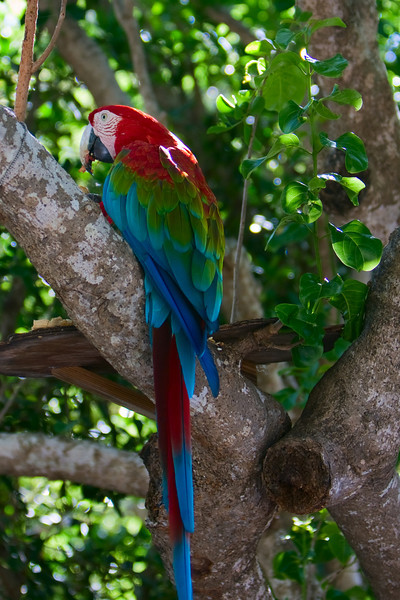 one of only two green-winged macaws in the BVI