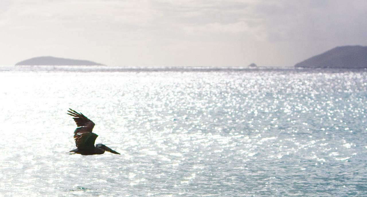 pelican in flight at Smuggler's Cove