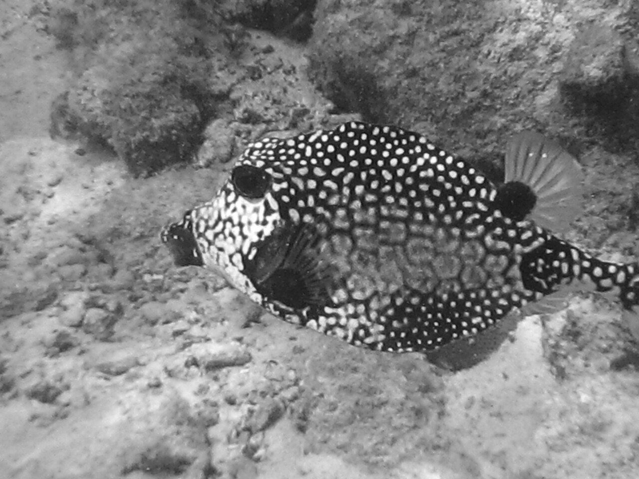 pufferfish in B&W (oops)