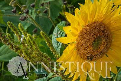 Sunflower-18
