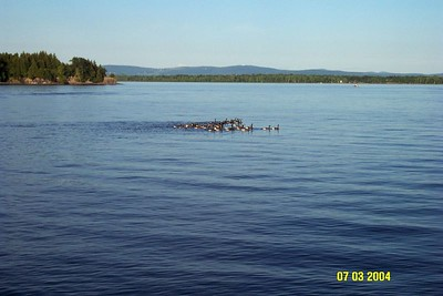 a gaggle of geese on lake