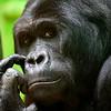 Gorilla - Eddy