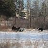 Shepherd and his border collies